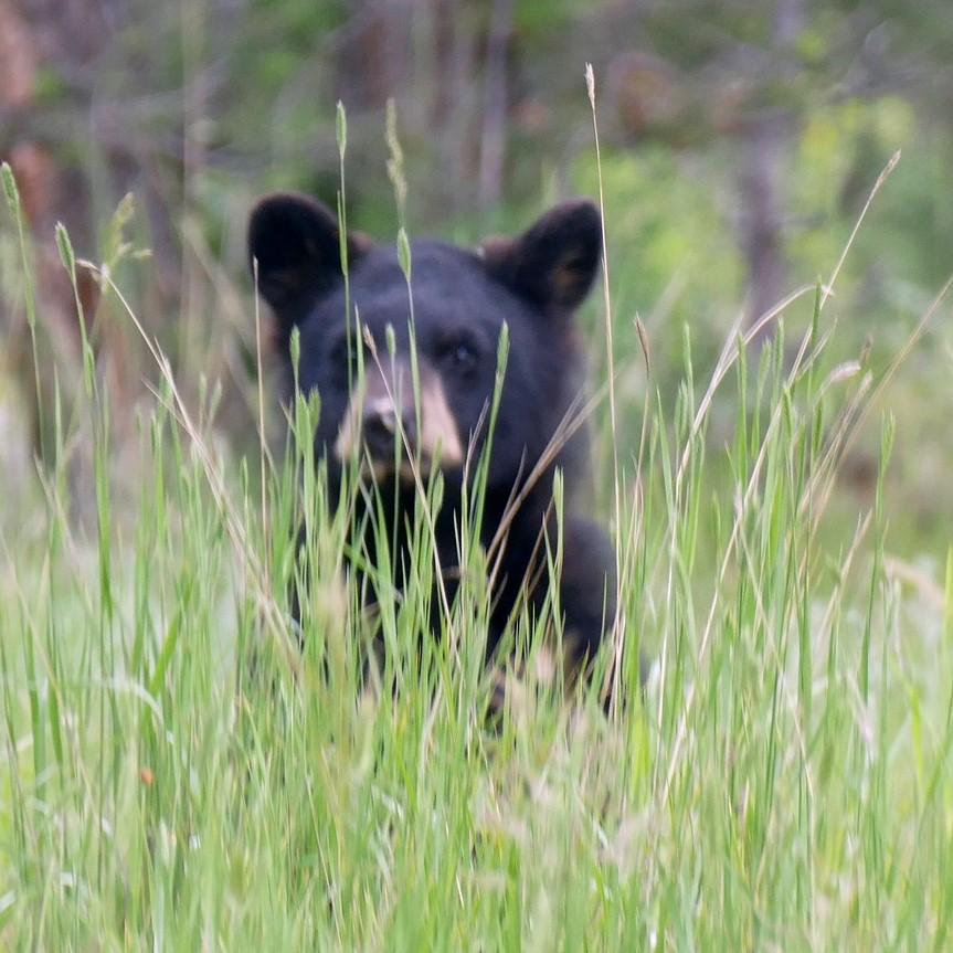 Niedźwiedziczka mieszkała wraz z rodzicami w norce w lesie przy pagórku.